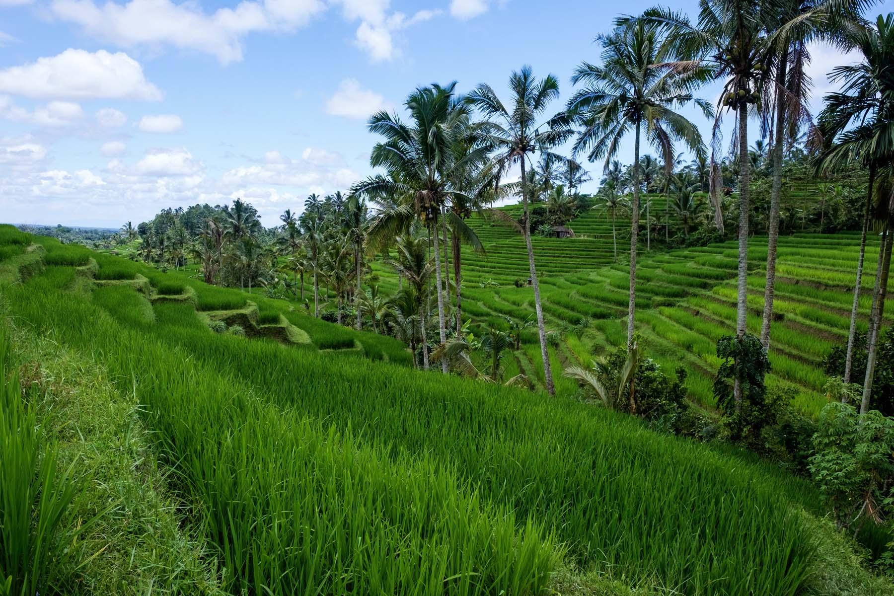 rice terrace trees Bali