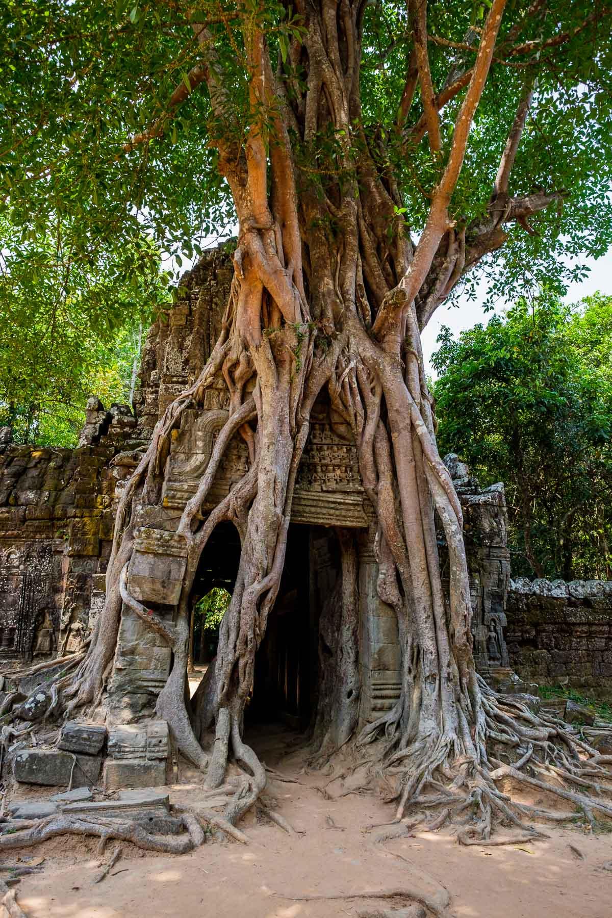 Tree roots Ta som temple Cambodia