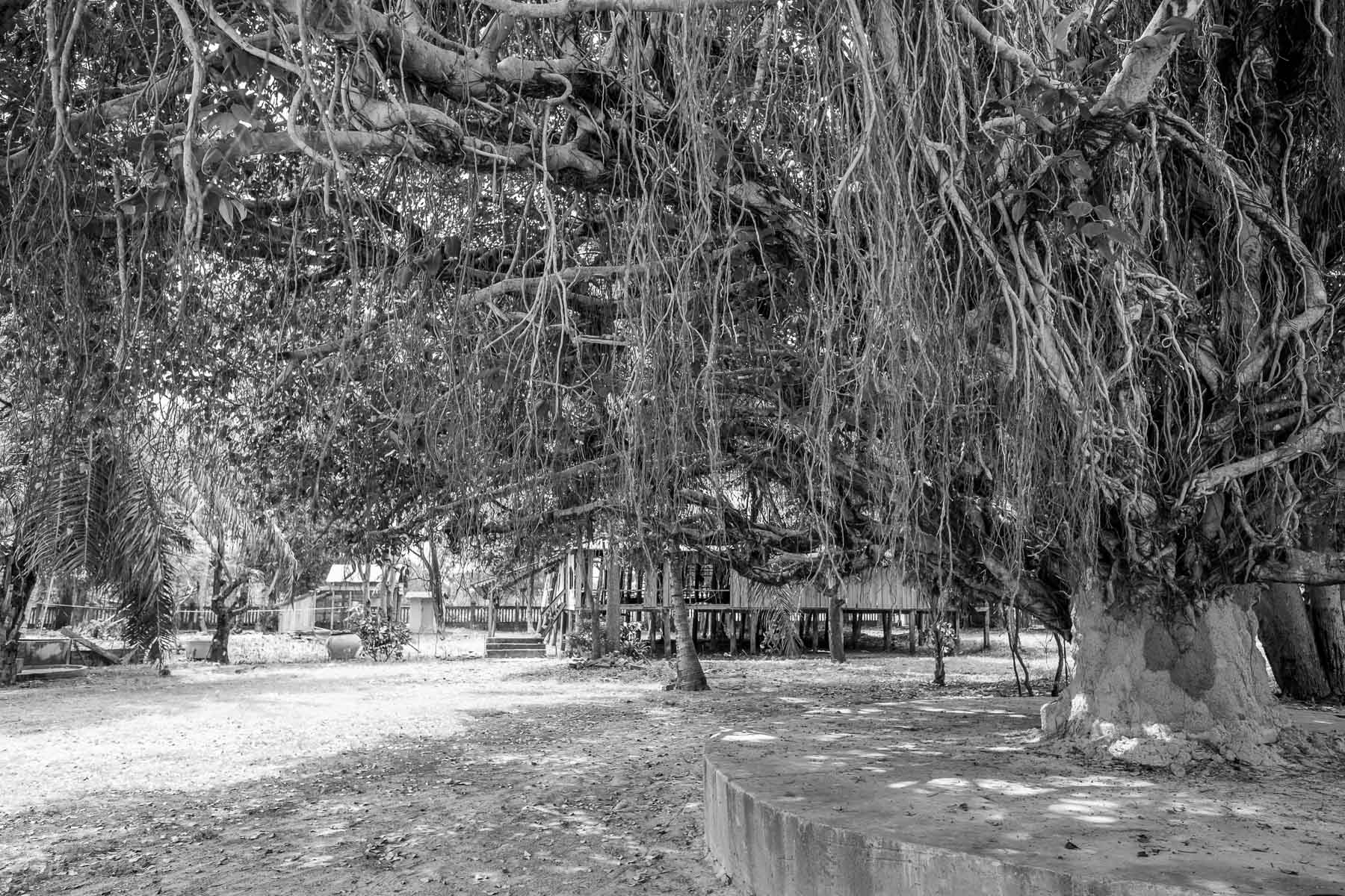 Tree vines at Monastery Siem Reap Cambodia