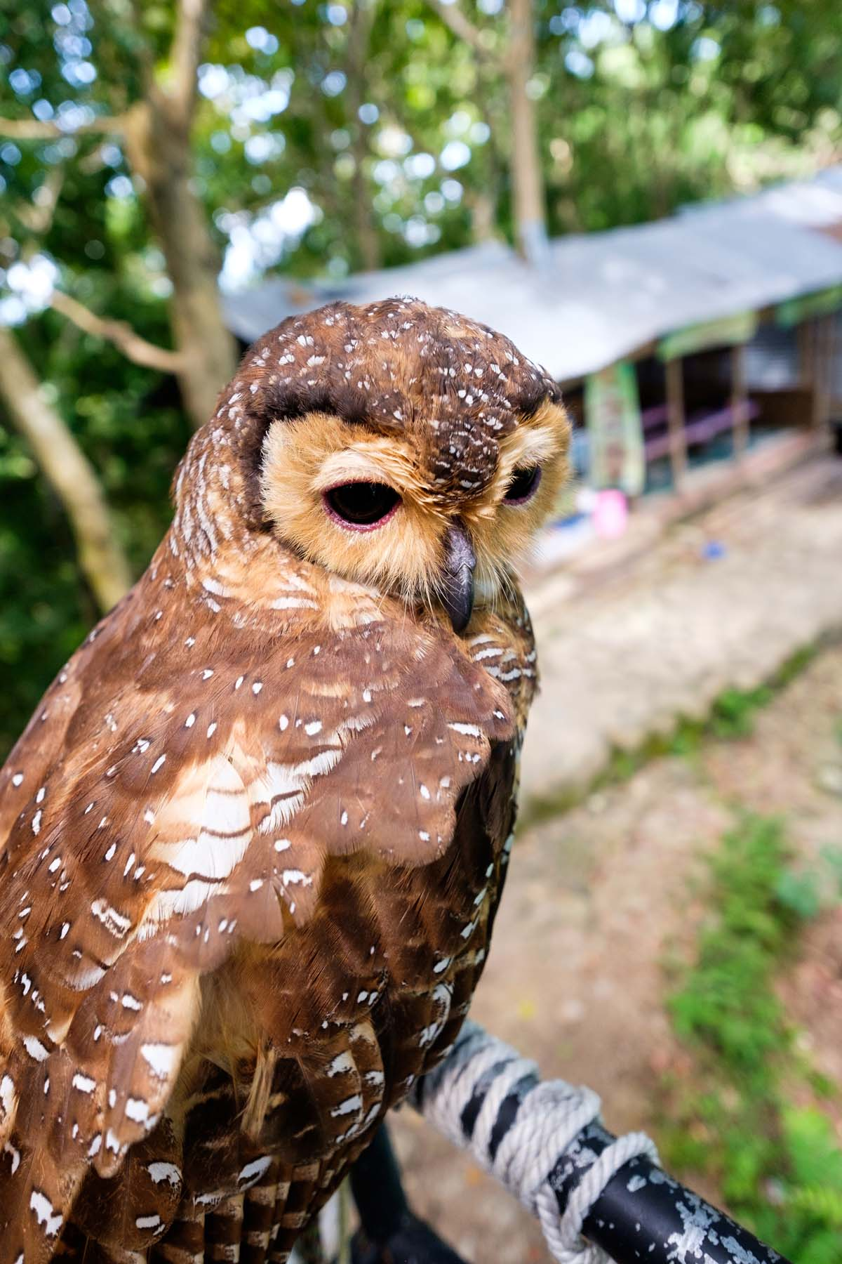 brown owl kalibiru yogyakarta indonesia