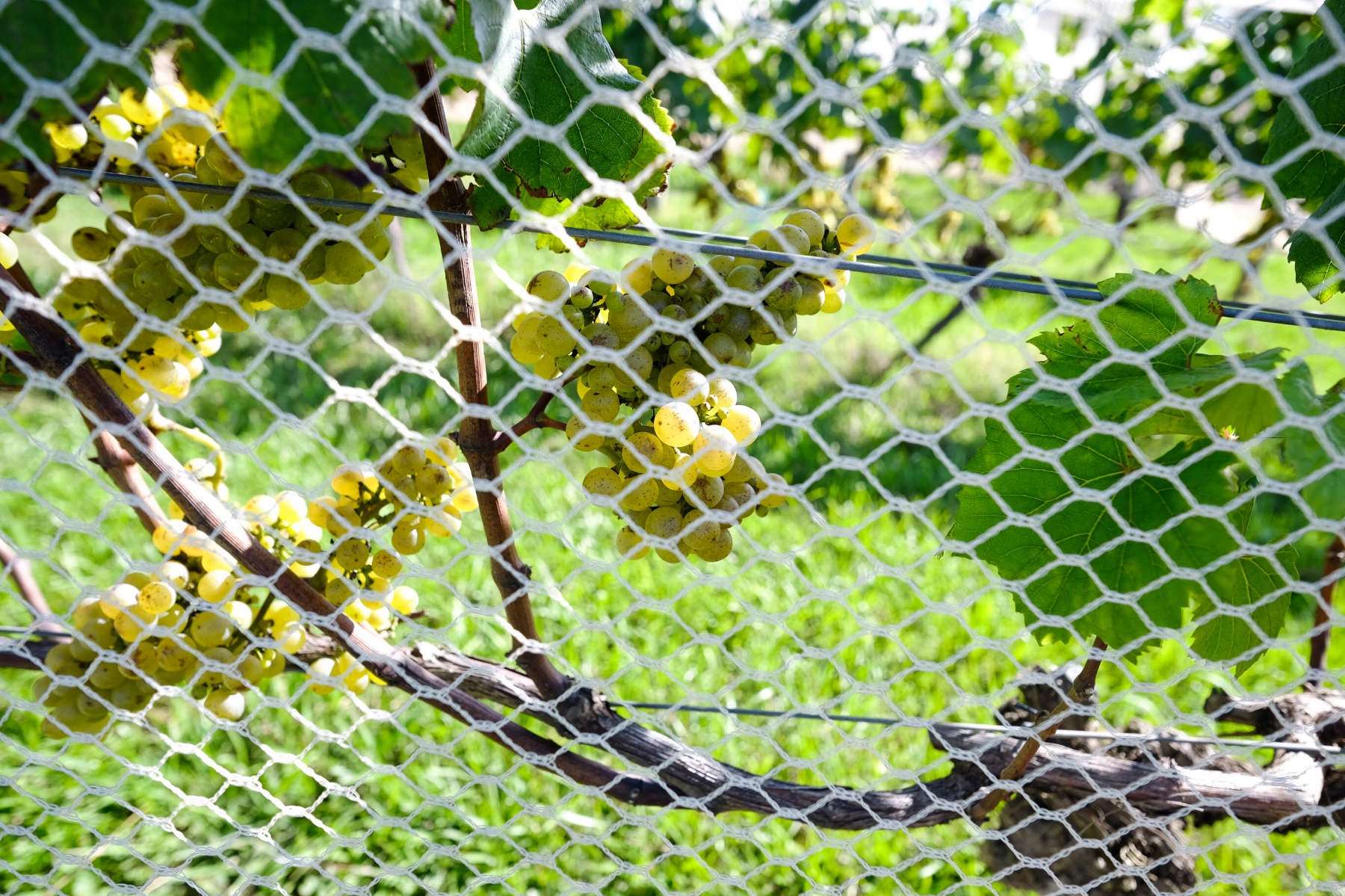 Green grapes waiheke island new zealand