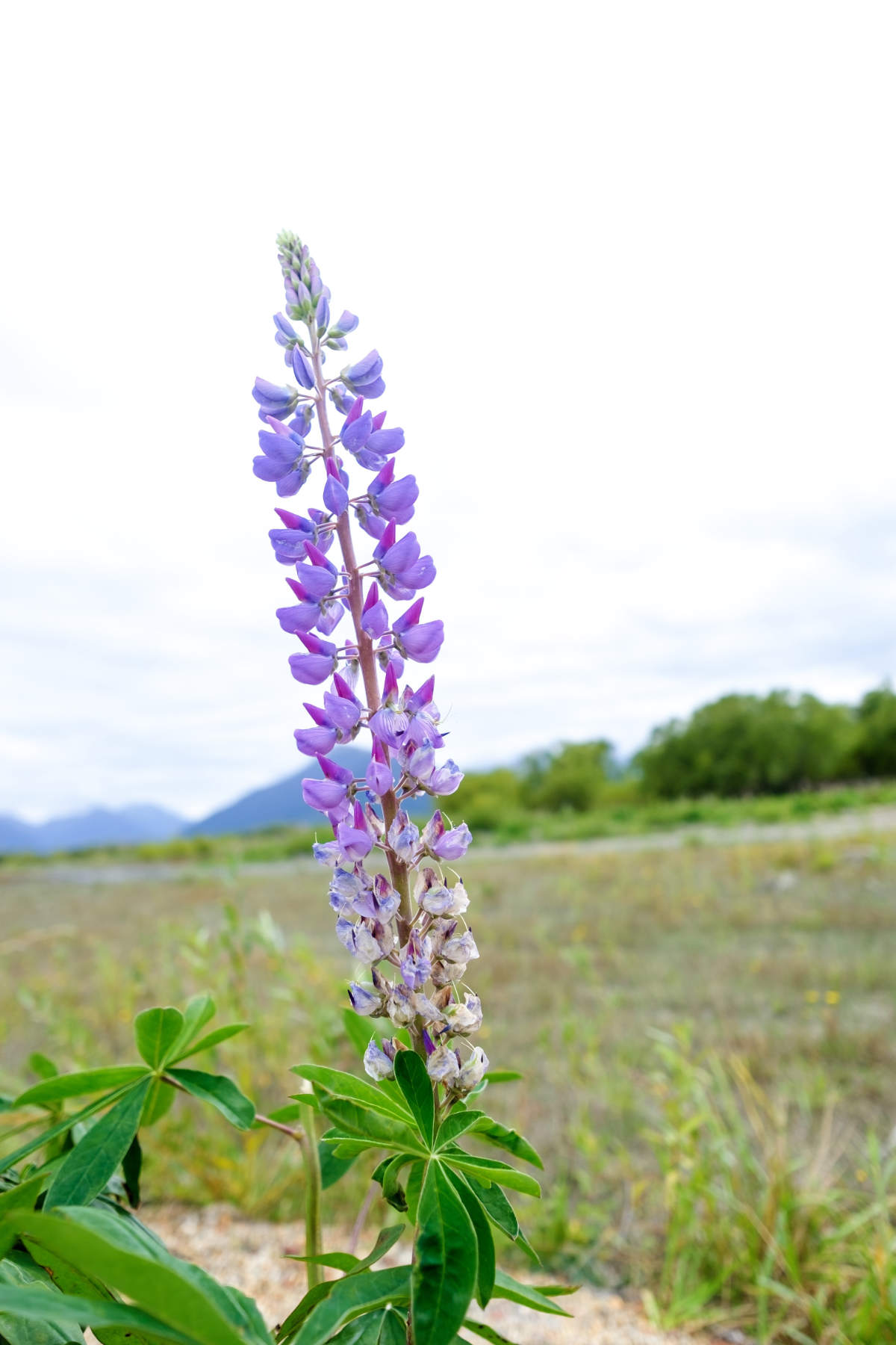 Lupin at glenorchy New Zealand