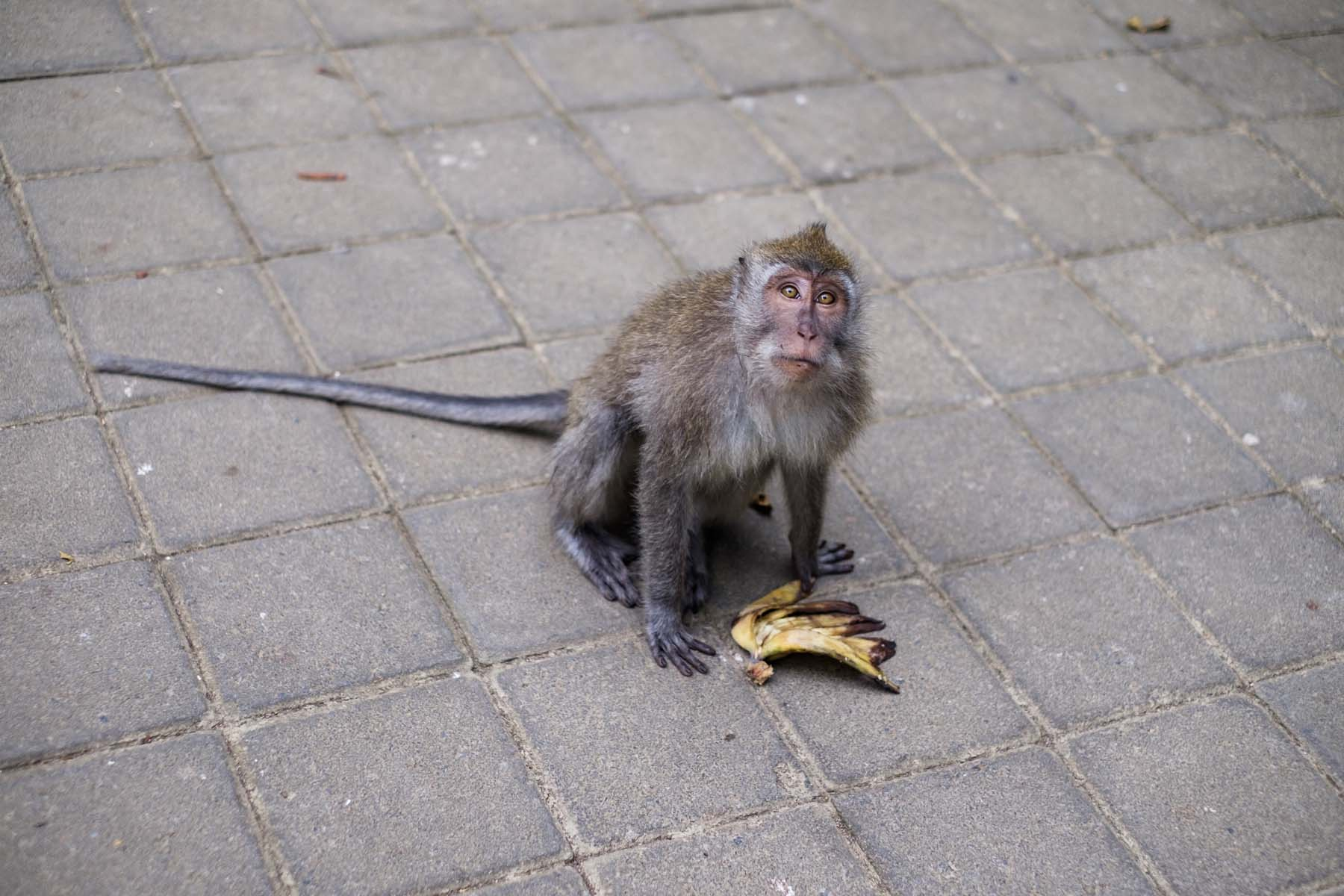 Monkey with its banana Bali Indonesia