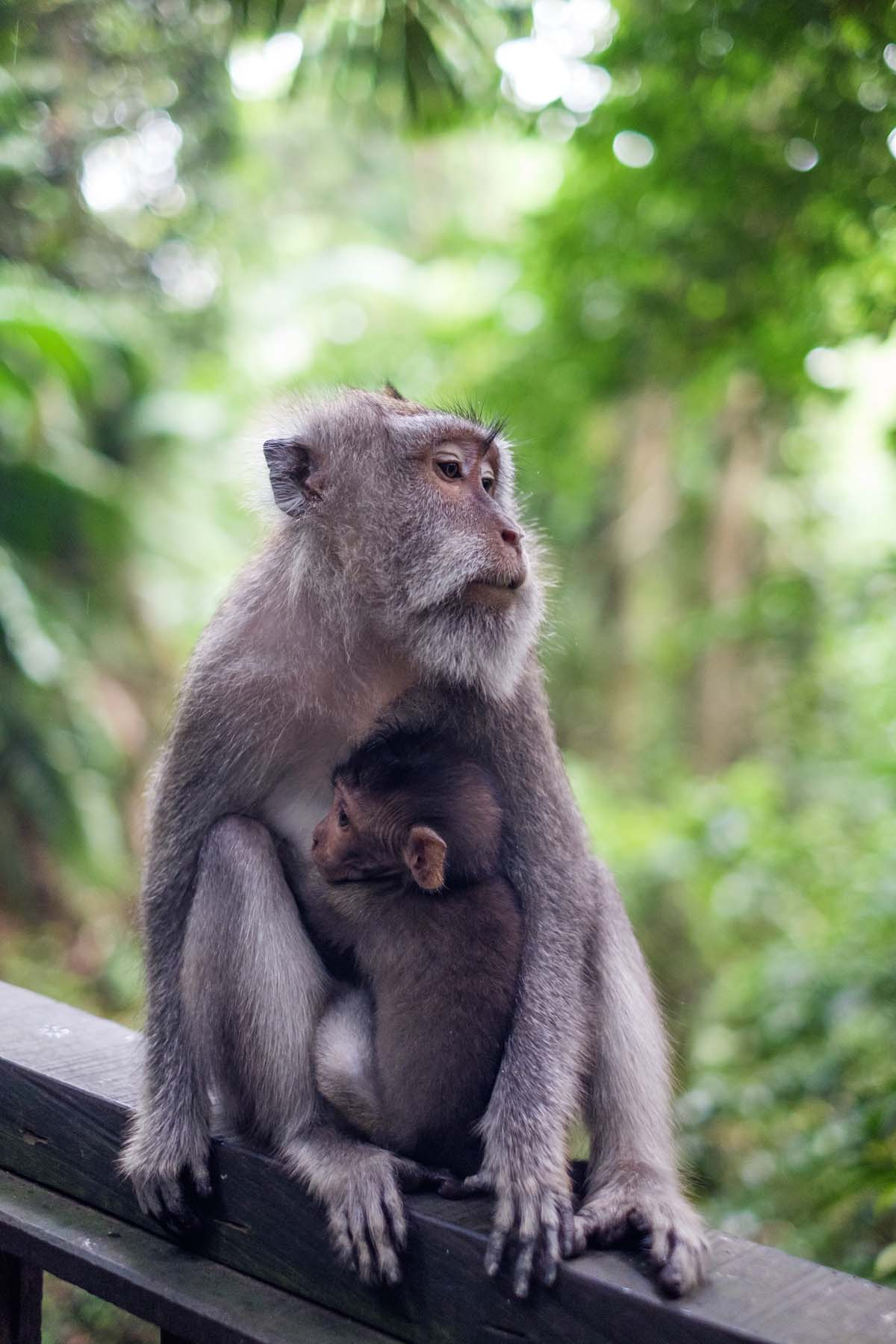 monkey with baby monkey forest Bali indonesia