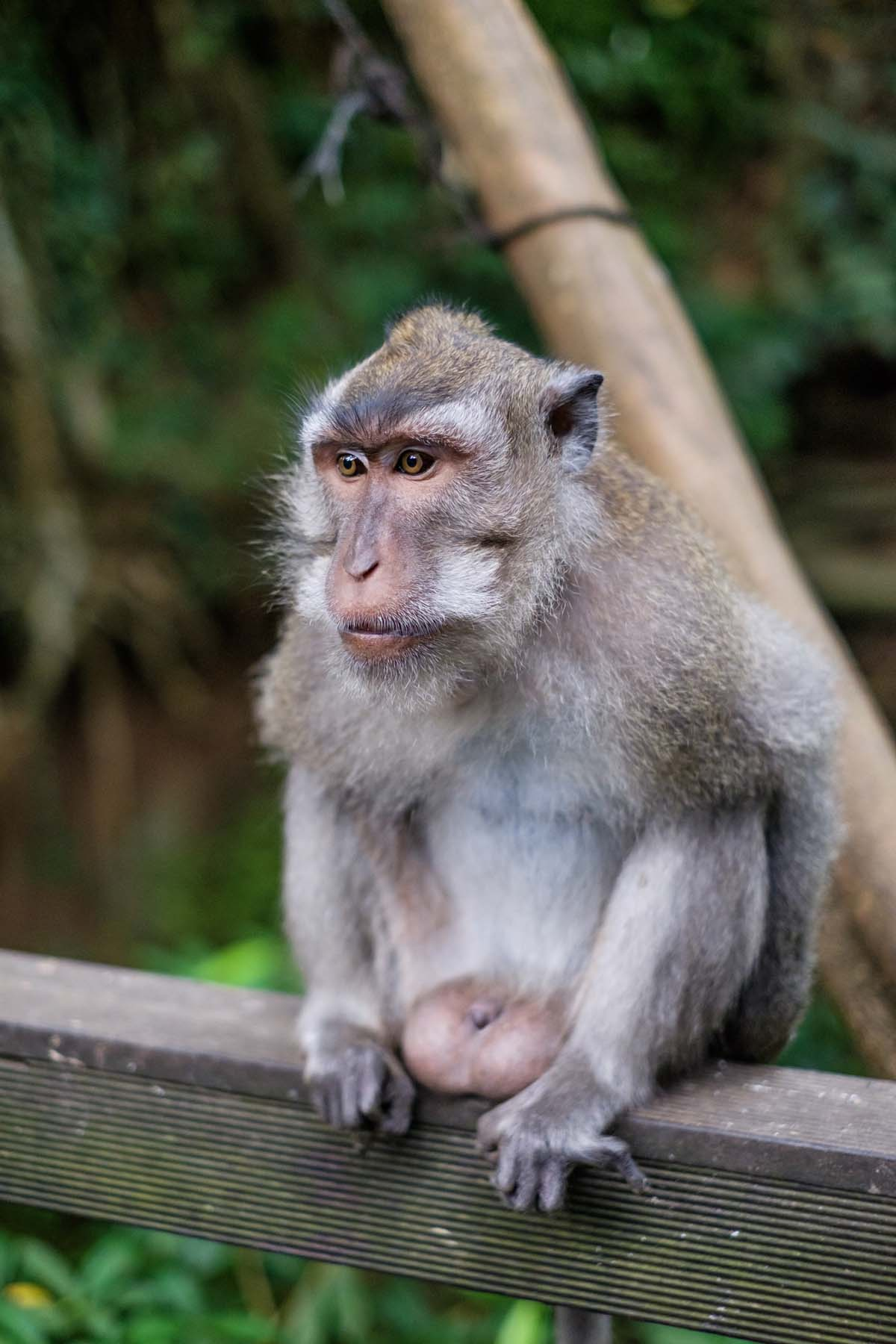 monkey portrait monkey forest Bali