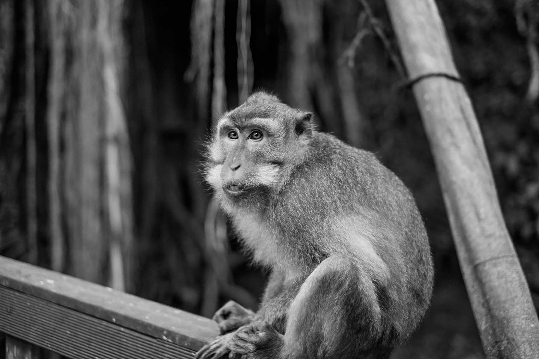 monkey sitting on fence Monkey Forest Bali