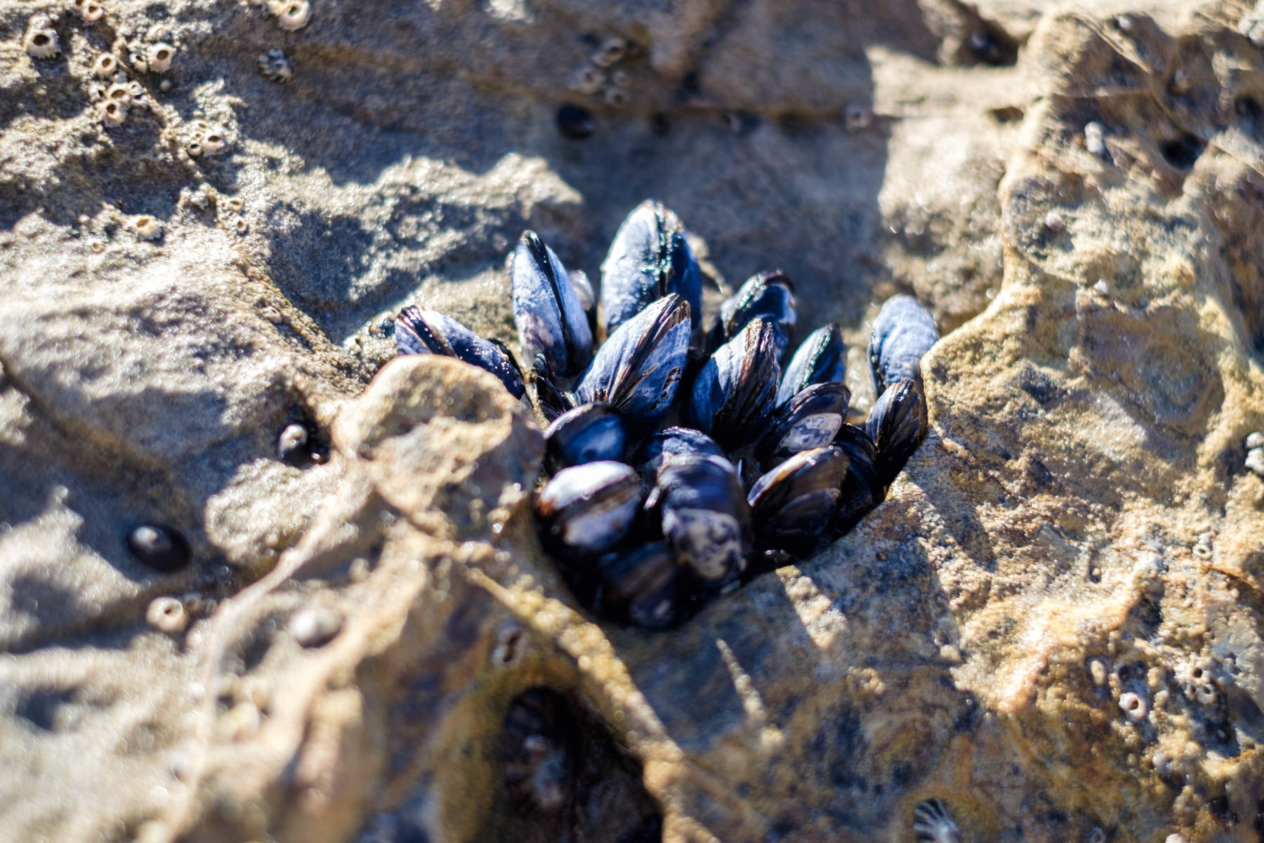 Mussels at Crystal cove beach in Los Angeles California
