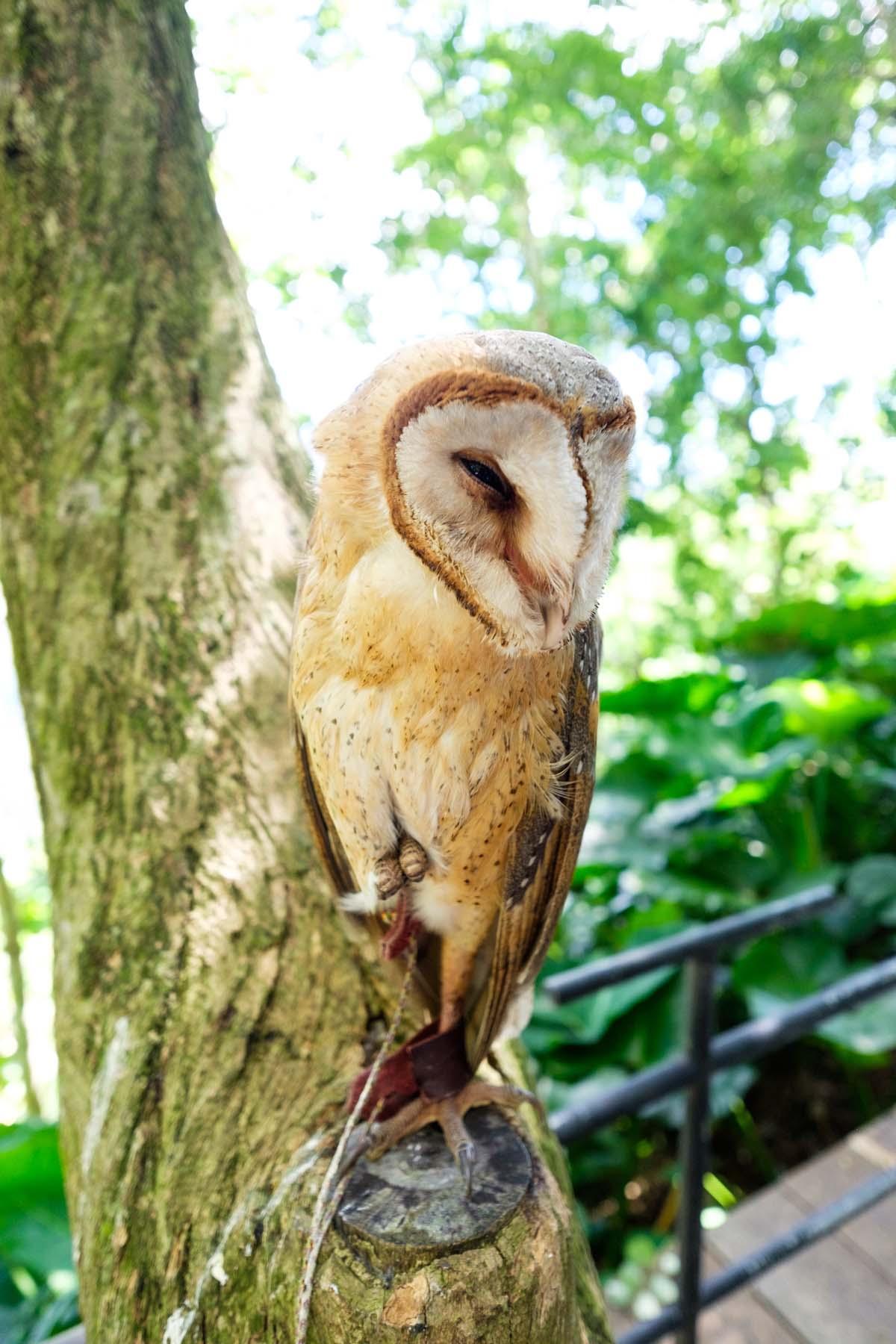 owl on tree indonesia