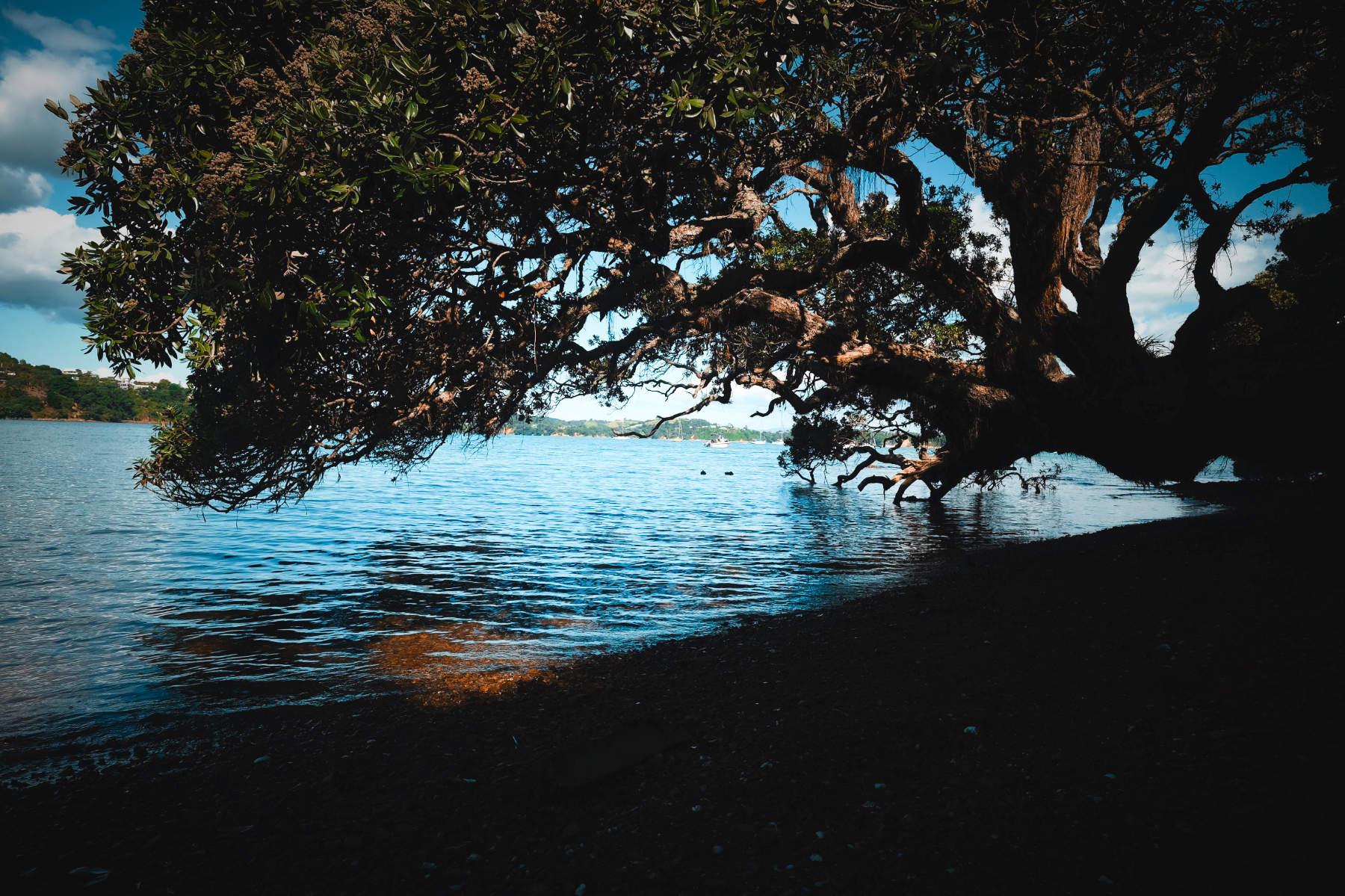 Tree overhanging onto water waiheke island New Zealand